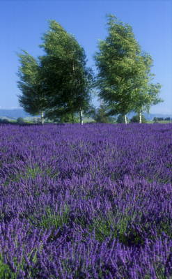 lavender farm tour nz