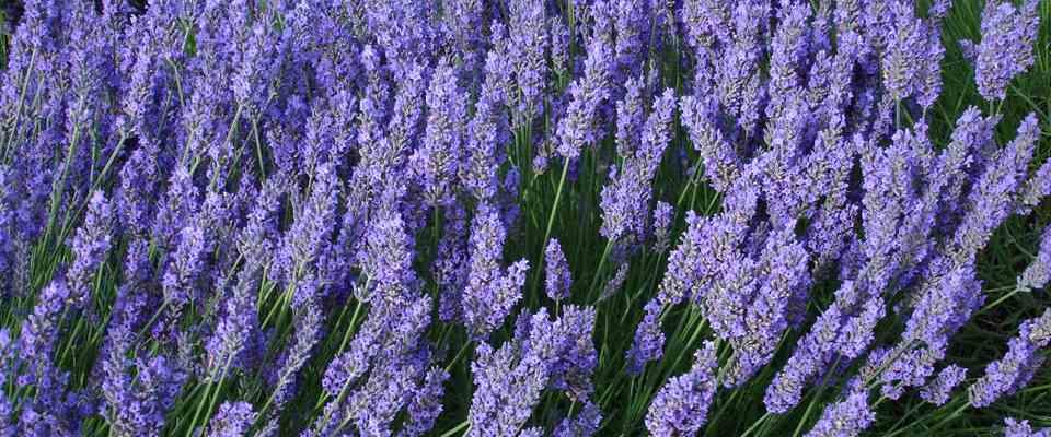 lavender farm slider